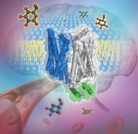 转运蛋白glut1的晶体结构